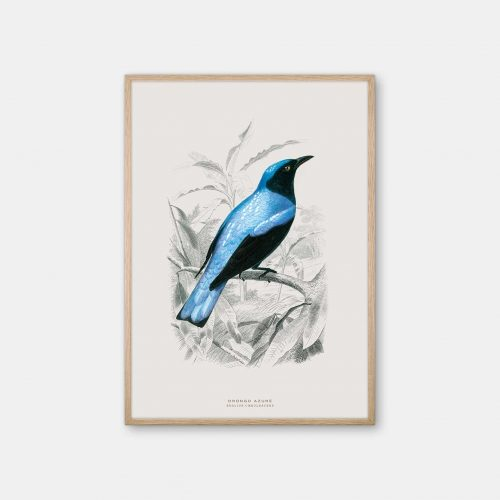 Gehalt-Botanisk-dyr-Drongo-bird-kunstplakat-eg-ramme