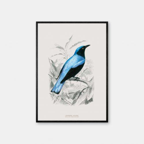 Gehalt-Botanisk-dyr-Drongo-bird-kunstplakat-sort-ramme