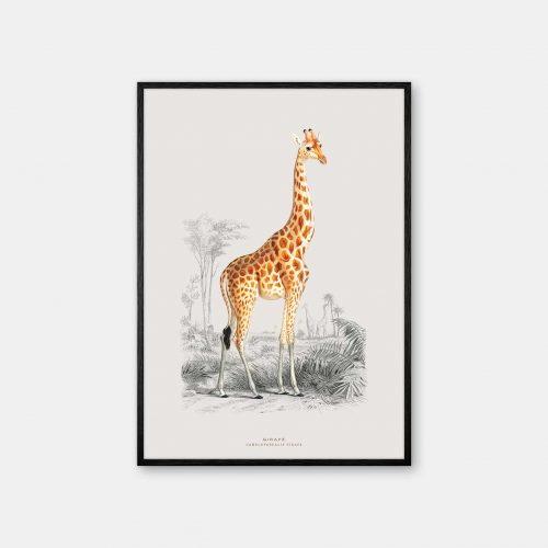 Gehalt-Botanisk-dyr-Giraf-kunstplakat-sort-ramme