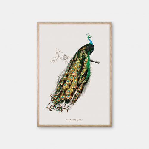 Gehalt-Botanisk-dyr-Peacock-kunstplakat-eg-ramme