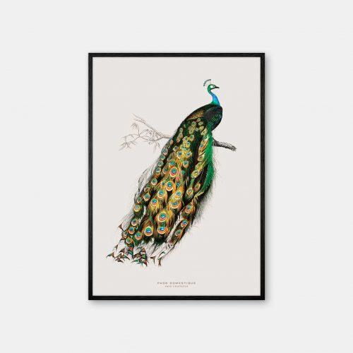 Gehalt-Botanisk-dyr-Peacock-kunstplakat-sort-ramme