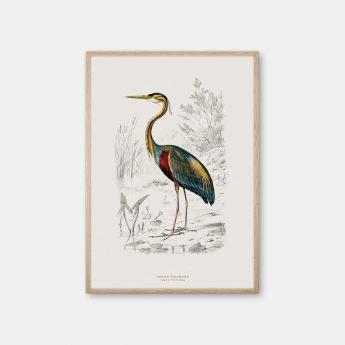 Gehalt-Botanisk-dyr-Purple-Heron-kunstplakat-eg-ramme