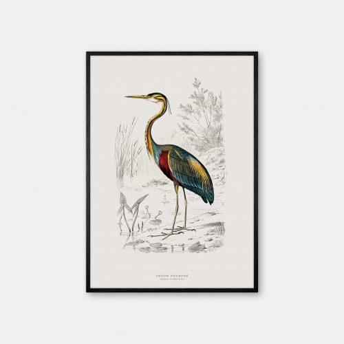 Gehalt-Botanisk-dyr-Purple-Heron-kunstplakat-sort-ramme