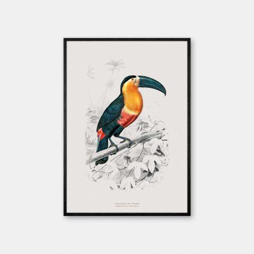 Gehalt-Botanisk-dyr-Toucan-kunstplakat-sort-ramme