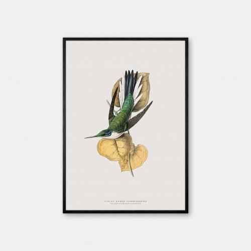 Gehalt-Botanisk-dyr-Violet-Hummingbird-kunstplakat-sort-ramme
