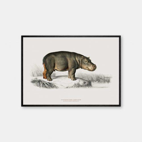 Gehalt-Botanisk-dyr-flodhest-kunstplakat-sort-ramme