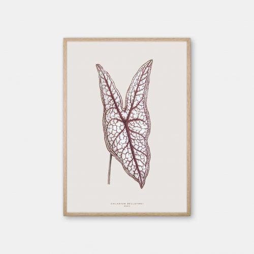 Gehalt-Botanisk-kunstplakat-varm-graa-Caladium-plante-eg-ramme