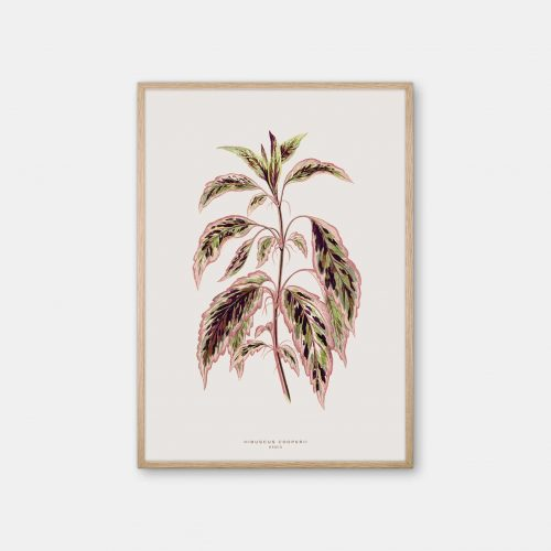 Gehalt-Botanisk-kunstplakat-varm-graa-Hibuscus-plante-eg-ramme