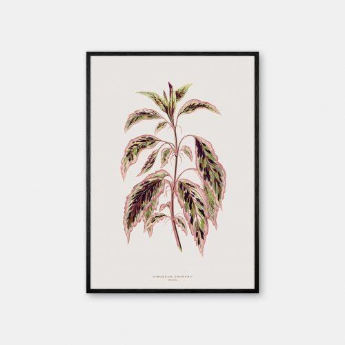 Gehalt-Botanisk-kunstplakat-varm-graa-Hibuscus-plante-sort-ramme